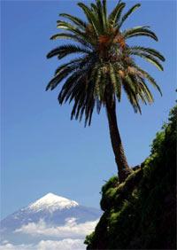Palmera vista del  Teide